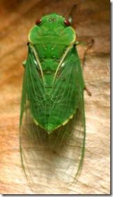 n-g-cicada6304