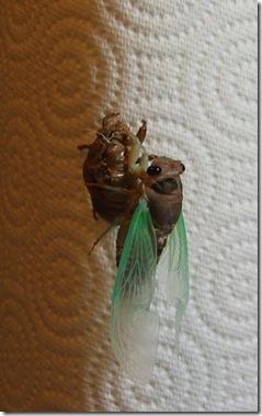 aaaaa cicada